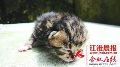 小家伙看起来萌萌哒 豹猫是省一级保护动物,在我省主要分布于大别山